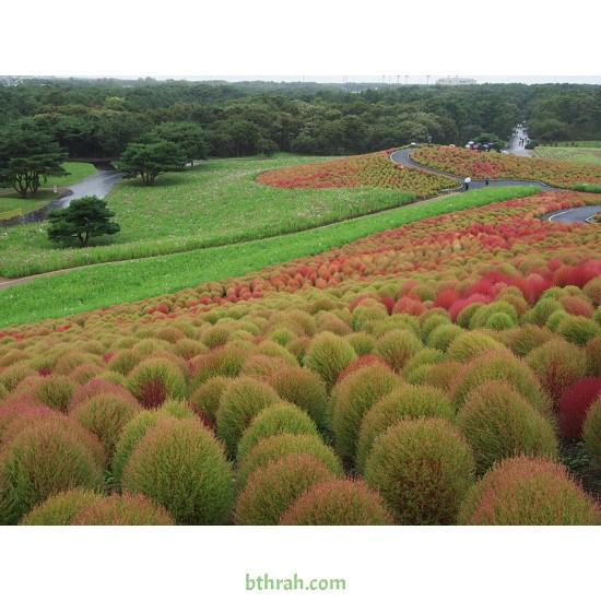 بذور نبات الكوشيا Kochia scoparia orBassia scoparia