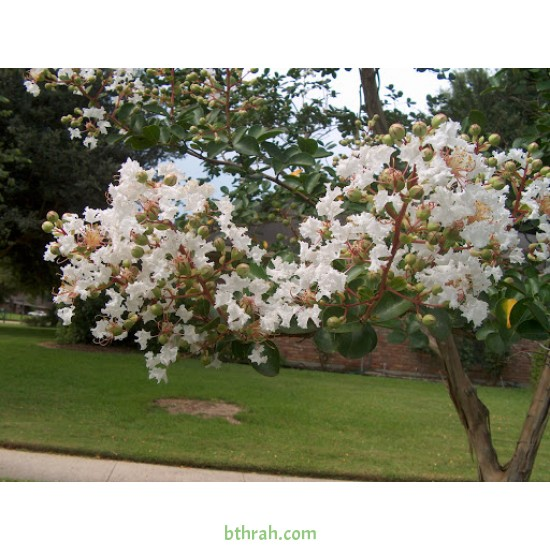بذور شجرة تمر حنا -  Lagerstroemia indica white (لون ابيض)