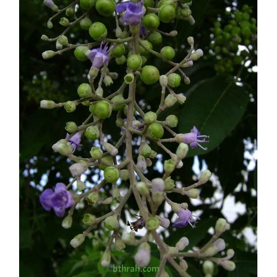 بذور نبات الوايتكس او فيتكس تريفيولا Vitex trifolia