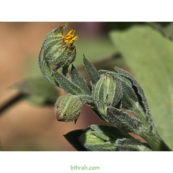 بذور نبات الحنوة Calendula Tripterocarpa