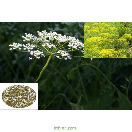 بذور اليانسون Pimpinella anisum