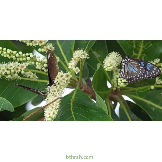 بذور اللوز البحريني Terminalia catappa- أو القضب