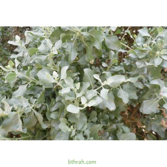 بذور عشبة القطف او الرغل الملحي-Atriplex halimus