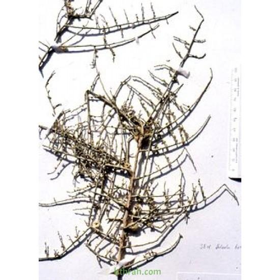 بذور عشبة الطحيان أو الحديدة- Halothamnus bottae