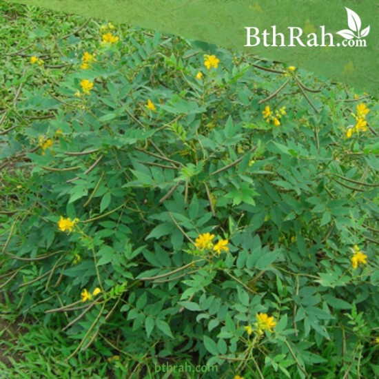 بذور شجرة كاسيا اوكدنتاليس-Senna occidentalis