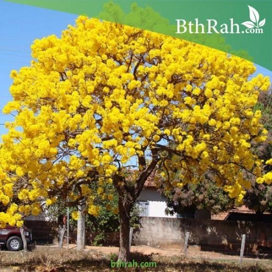 بذور شجرة التابوبيا الصفراء   Tabebuia aurea