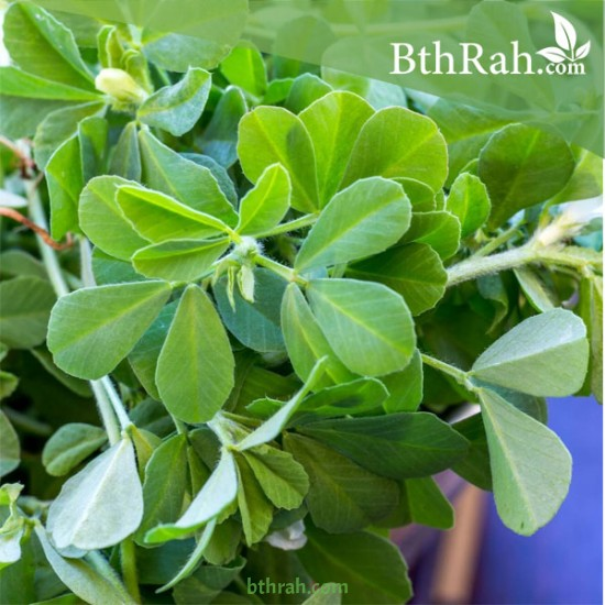 بذور الحلبة-Trigonella foenum-graecum