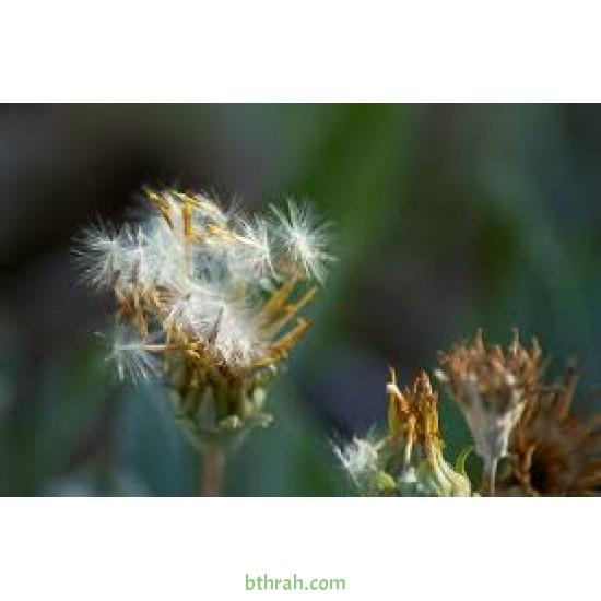 بذور نبات الشمر أو الشمرة-Foeniculum vulgare