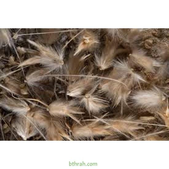بذور عشبة الضعة Lasiurus scindicus