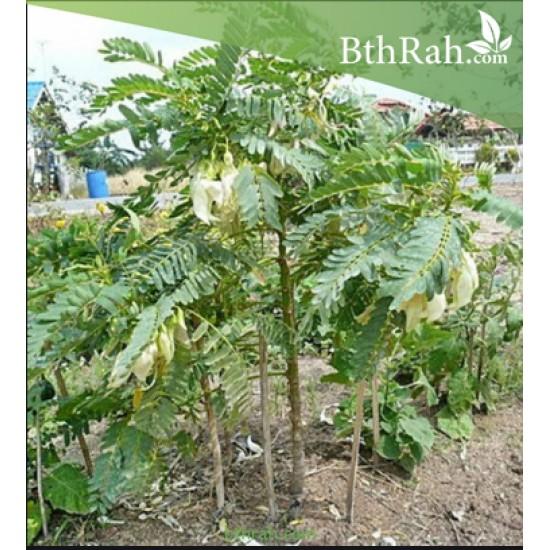 بذور شجرة السيسبان-Sesbania grandiflora