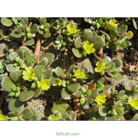 بذور نبات الرجلة-Portulaca oleracea