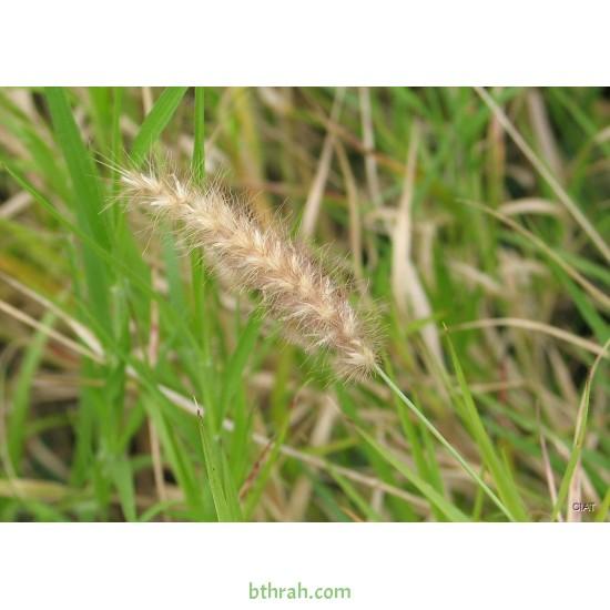 بذور عشبة السبط-Cenchrus ciliaris