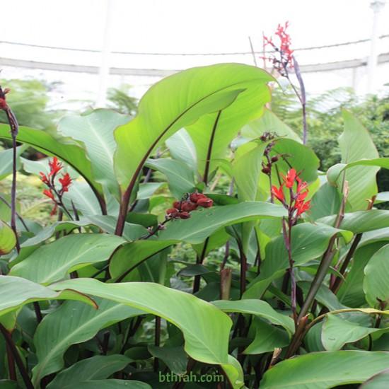 بذور نبات الكنا-Canna لون أحمر