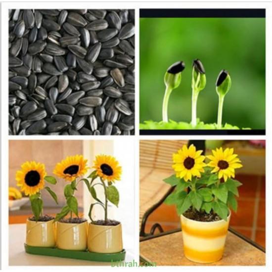 بذور دوار الشمس القزمي-Helianthus pumilus- dwarf Sunflower