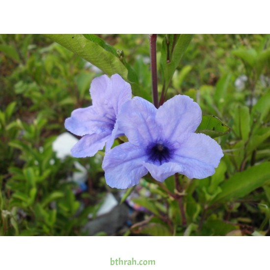 بذور رويليا ( البتونيا البرية )Ruellia tuberosa