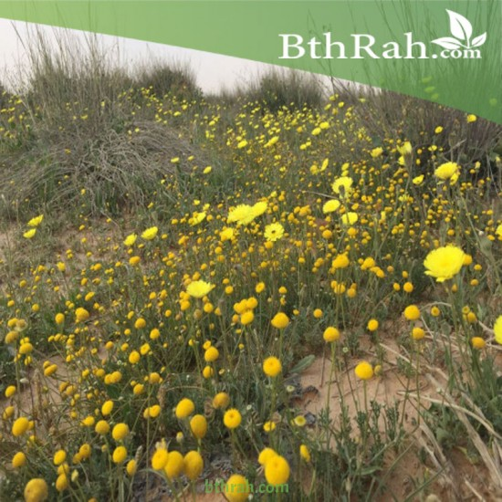 بذور نبات الحوذان picris babylonica