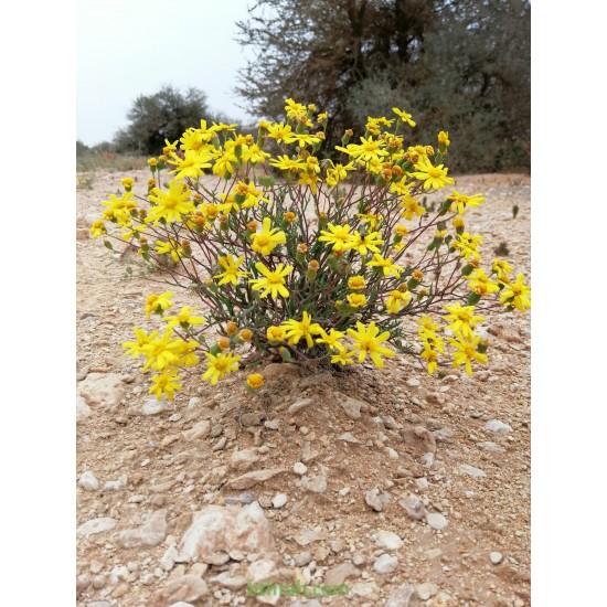 بذور نبات المكنان-Senecio glaucus
