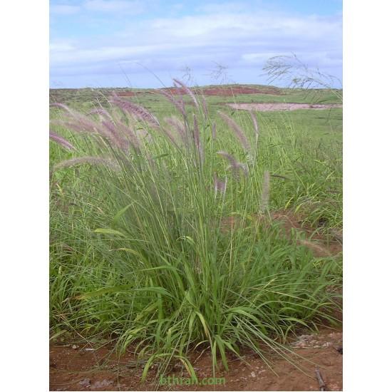 بذور نبات الحلفا أو عشبة النافورة أو الثيوم- بنسيتم-Pennisetum Setaceum
