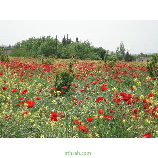 بذور نباتات الربيع