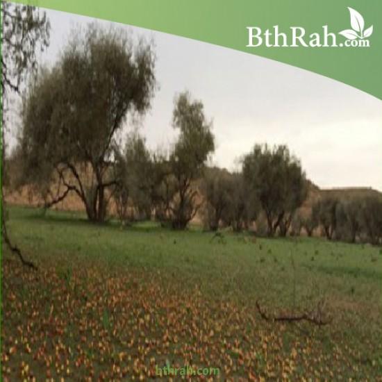بذور شجرة السدر البري - Ziziphus spina-christi