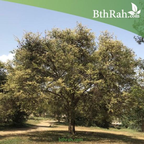 بذور شجرة الطلح النجدي - Acacia gerrardii