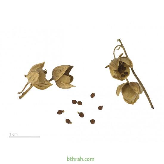 بذور الرقروق المصاحب للكمأة ( الفقع ) Helianthemum
