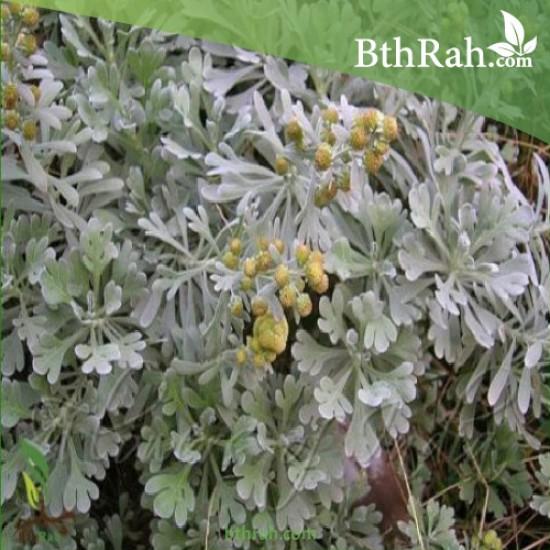 بذور عشبة الشيح - Artemisia sieberi Besser Asteraceae