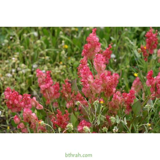 بذور عشبة الحميض-Rumex vesicarius