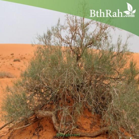 بذور شجرة الأَرْطَى - calligonum comosum