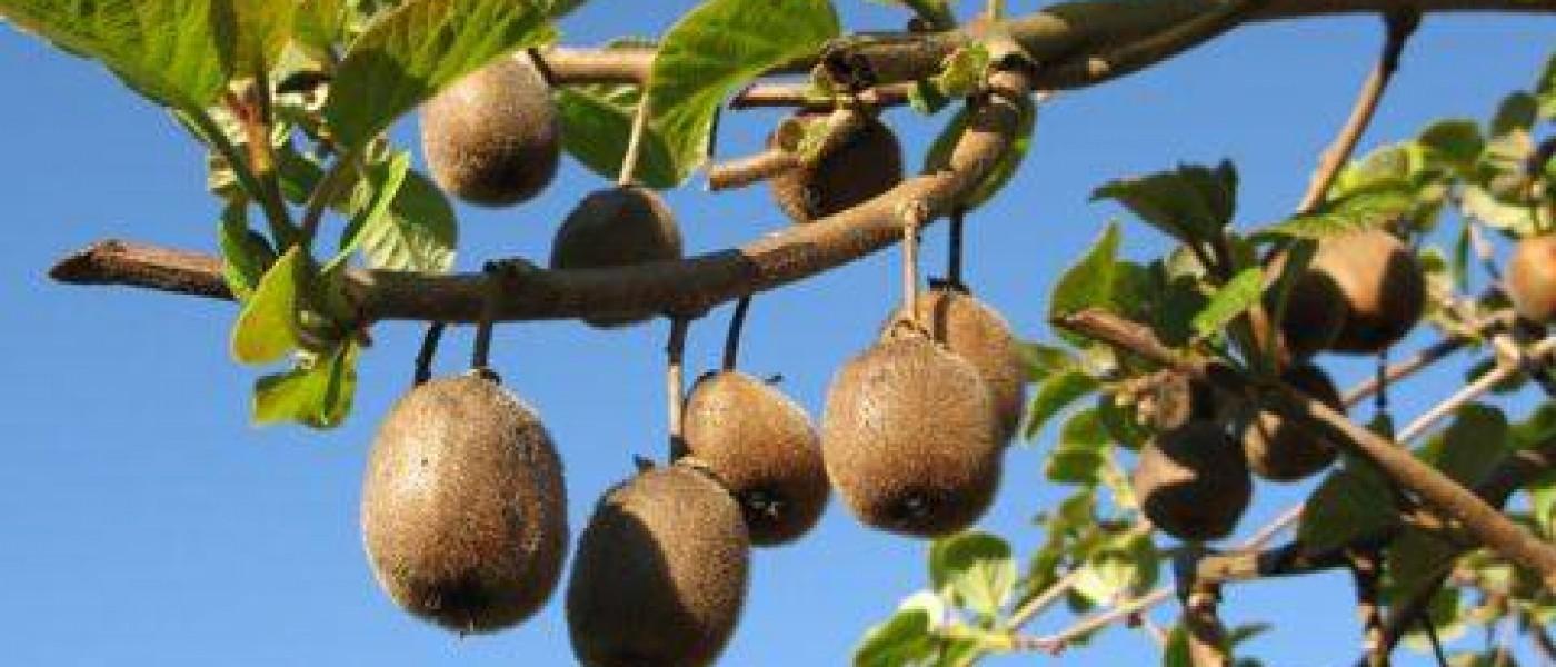 شجرة الكيوي- kiwi fruit tree