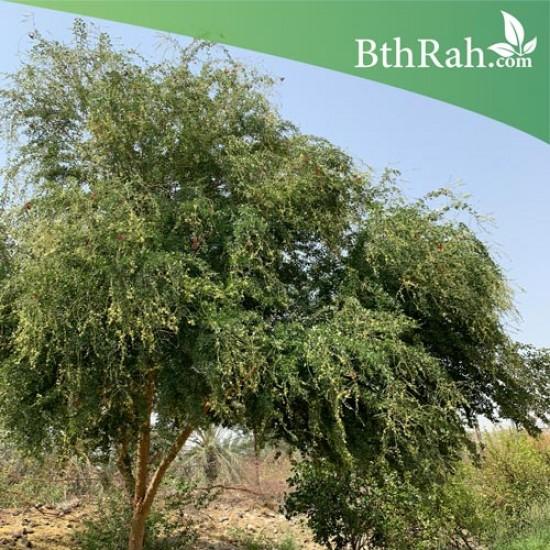 بذور شجرة اللوز الهندي
