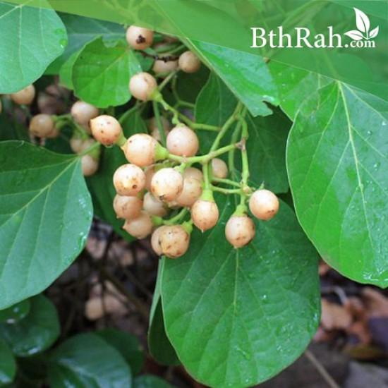 بذور شجرة البمبر البري - Cordia myxa
