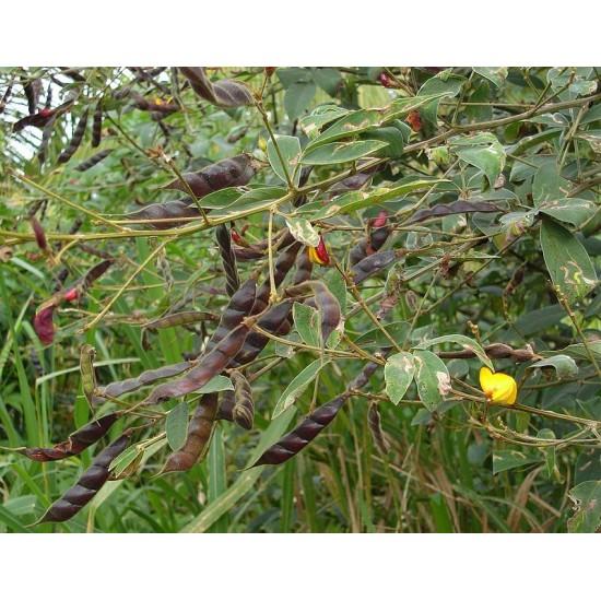 اللوبيا العدسية (رعوية) Begun pea