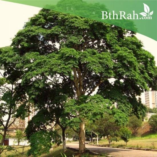 بذور شجرة مرجان الغابة - Adenanthera pavonina