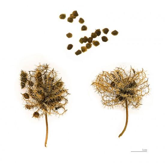 40 بذرة من بذور النبتة الخجولة أو المستحية - Mimosa Pudica