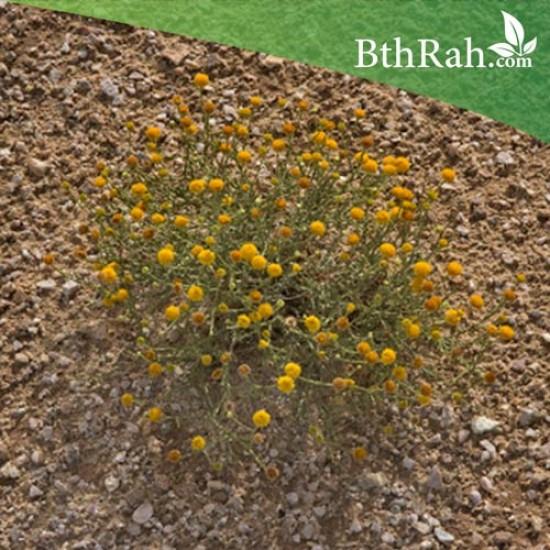 بذور الجثجاث - Pulicaria crispa