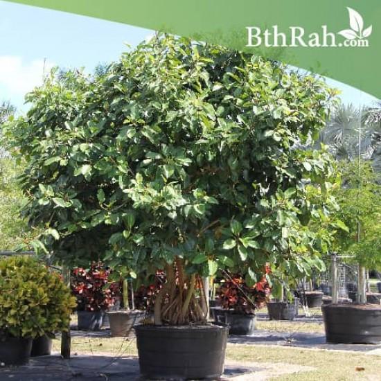بذور فيكس بنغالي - Ficus benghalensis