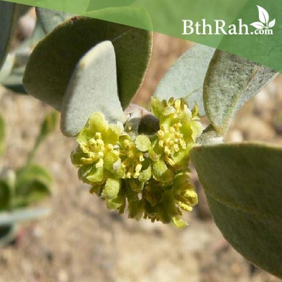 بذور الجوجوبا (Simmondsia chinensis)