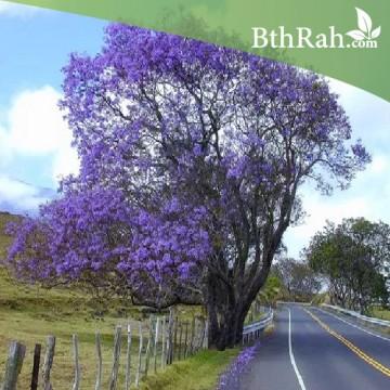 بذور  شجرة الجاكرندا  Jacaranda Seeds