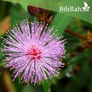40 بذرة من بذور النبتة الخجولة ( Mimosa Pudica )