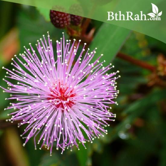 40 بذرة من بذور النبتة الخجولة - Mimosa Pudica