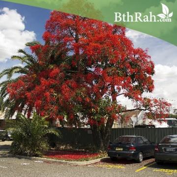 بذور شجرة البونسيانا الحمراء ( Delonix regia)