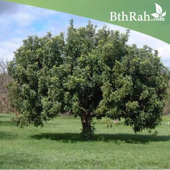 بذور الخروب - Ceratonia siliqua