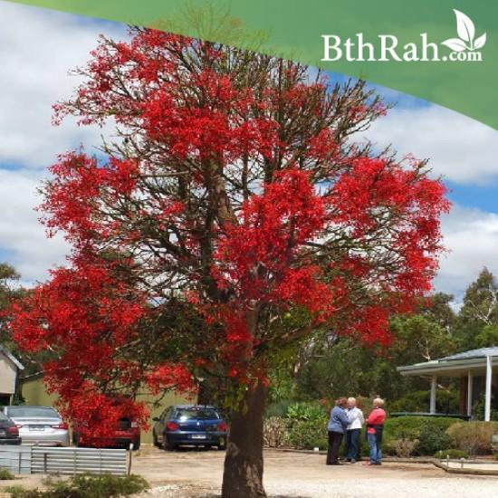 بذور شجرة استركوليا - Brachychiton populneus