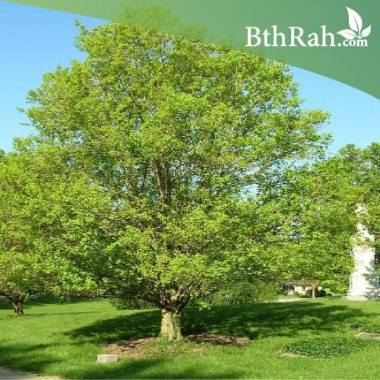بذور القيقب الحقلي (Acer campestre)