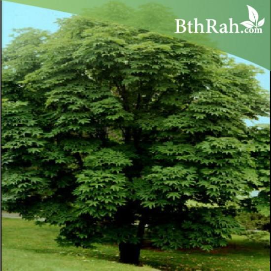 بذور شجرة الخروع العملاق - Ricinus communis