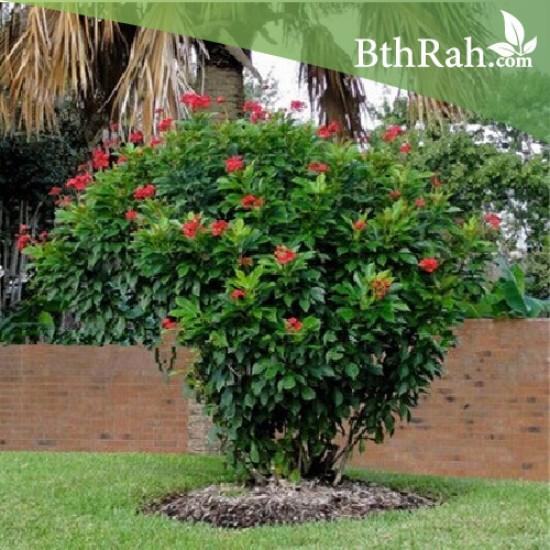 بذور شجرة الجاتروفا - Jatropha integerrima
