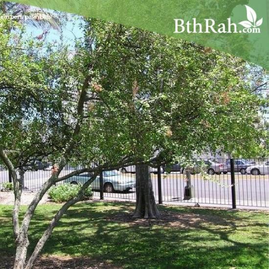 بذور شجرة الحناء - Lawsonia Inermis