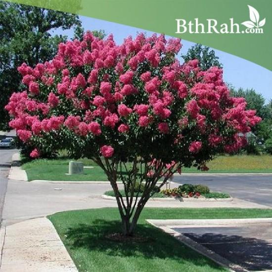 بذور شجرة تمر حنا - Lagerstroemia indica
