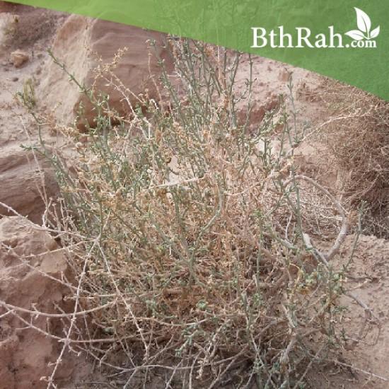 بذور نبتة الشعران - Agathophora alopecuroides